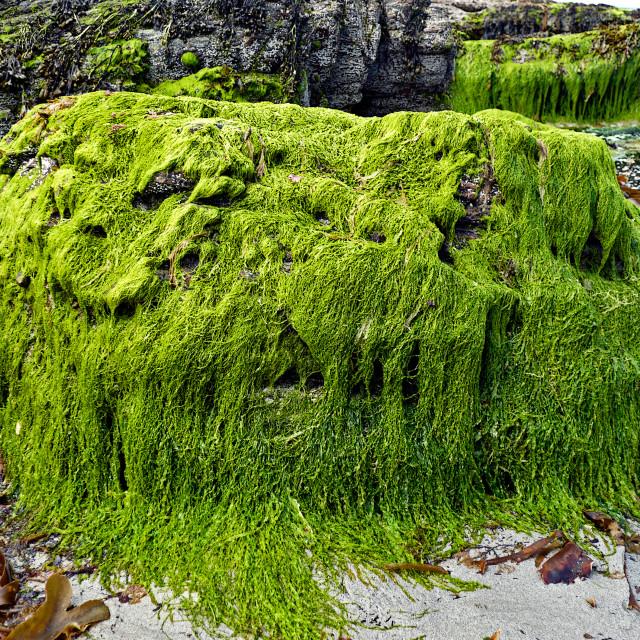 """Vivid Green Seaweed"" stock image"