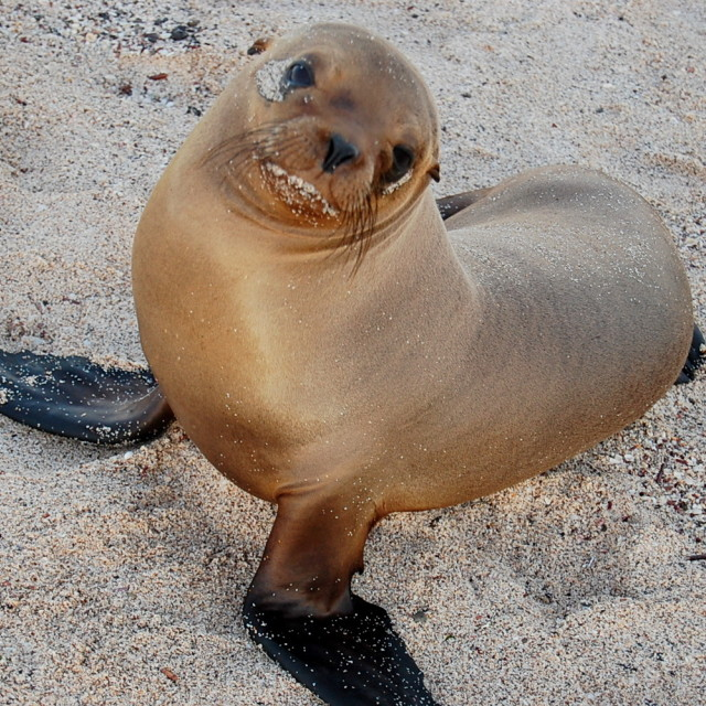 """Baby sea lion"" stock image"