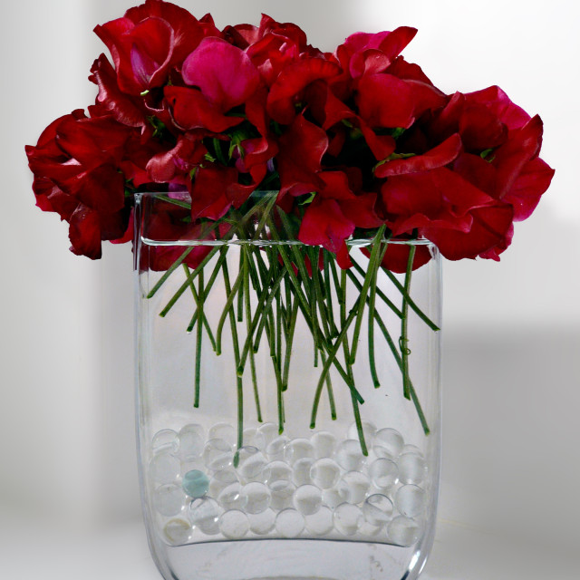 """Red Sweet Peas"" stock image"