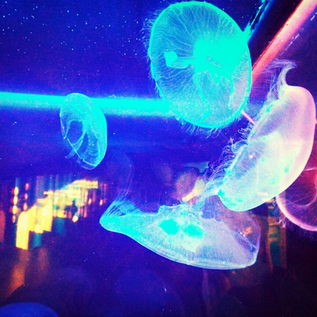 """Moon Jelly Fish"" stock image"