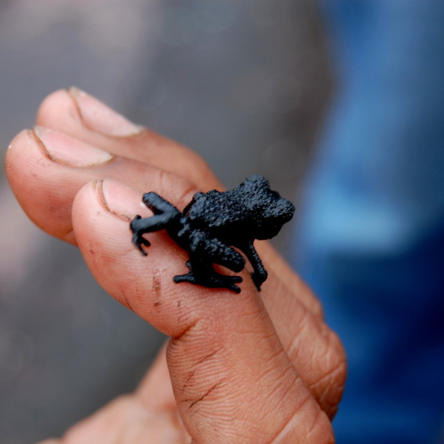 """Little black frog"" stock image"