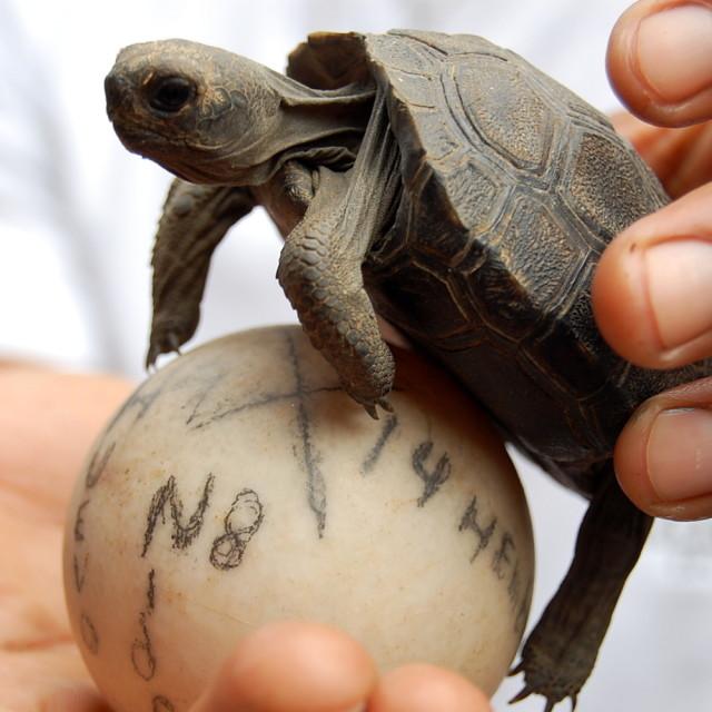 """""""Baby giant tortoise"""" stock image"""