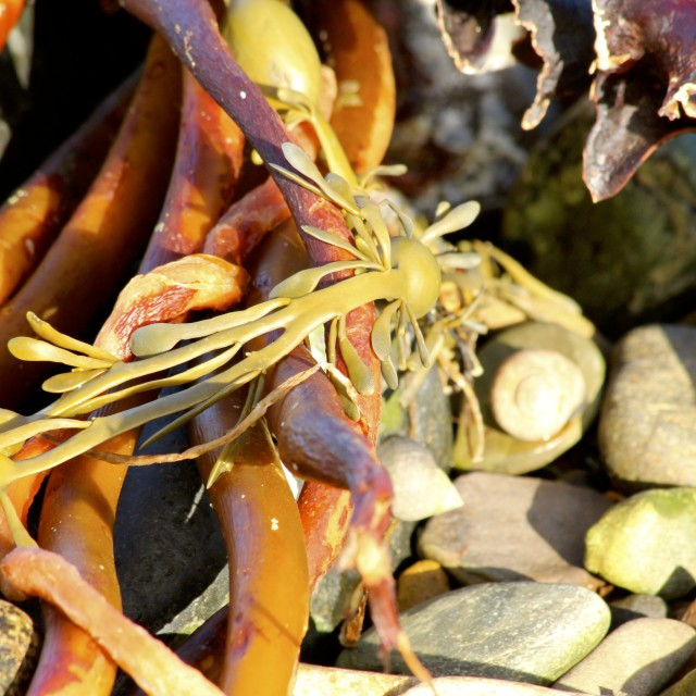 """Golden Seaweed"" stock image"