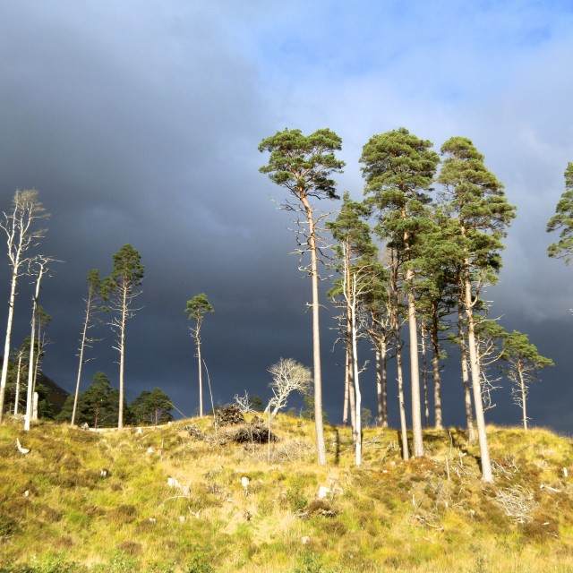 """Stormy Skies and Scots Pines"" stock image"