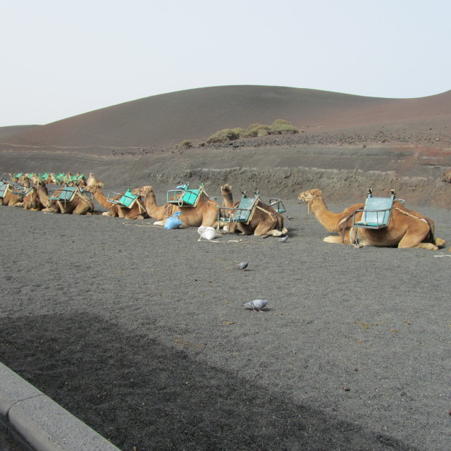 """Camel train in Lanzarote"" stock image"