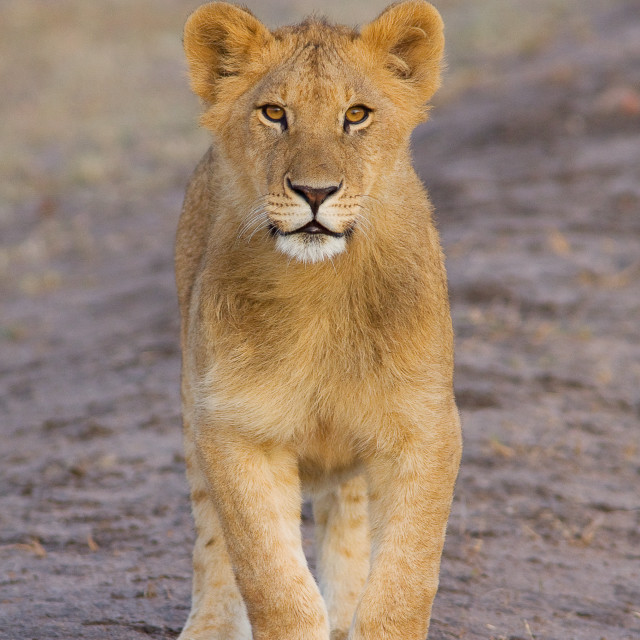 """Lion Cub in the Serengeti"" stock image"