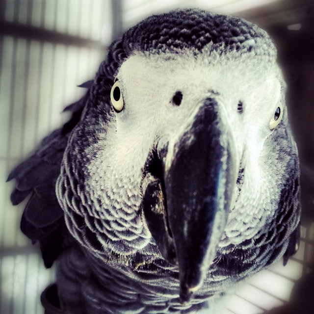 """African Grey Parrot"" stock image"