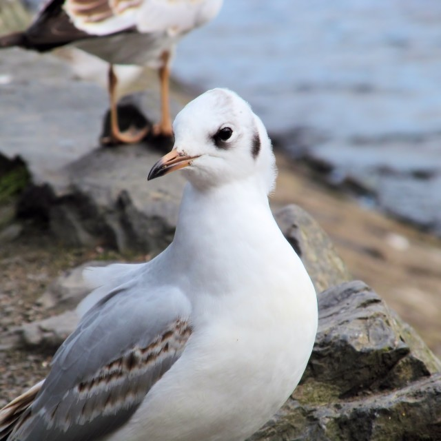 """Young Black-headed Gull"" stock image"