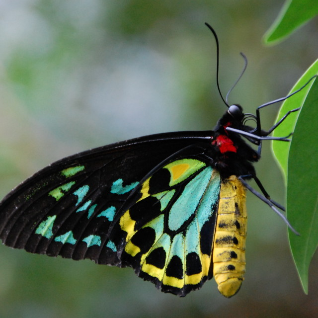 """Melbourne Butterfly"" stock image"
