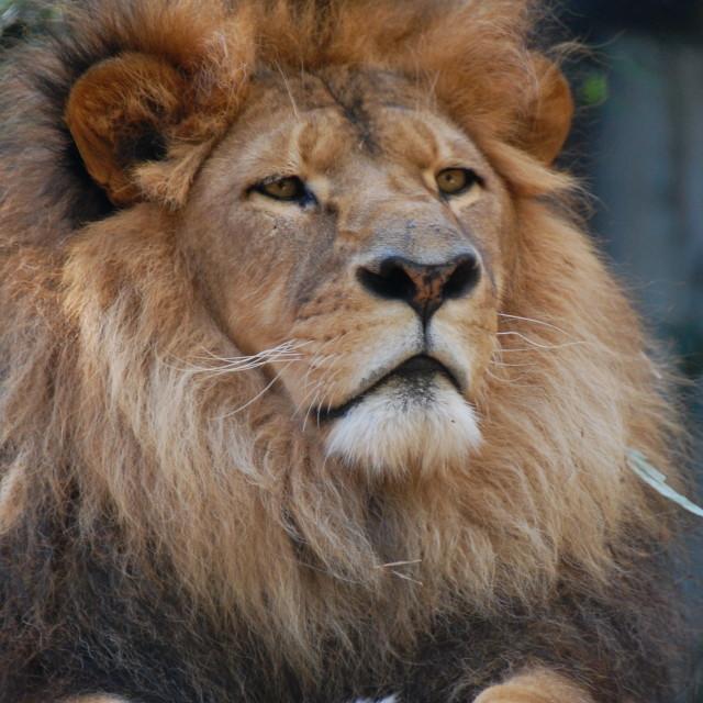 """Sydney Lion"" stock image"