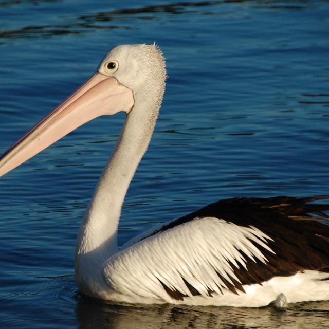 """""""Noosa Pelican"""" stock image"""