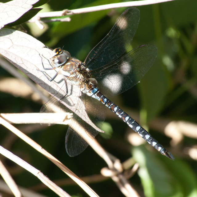 """""""Dragonfly at rest"""" stock image"""