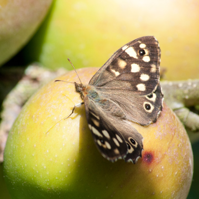 """""""Speckled Wood"""" stock image"""
