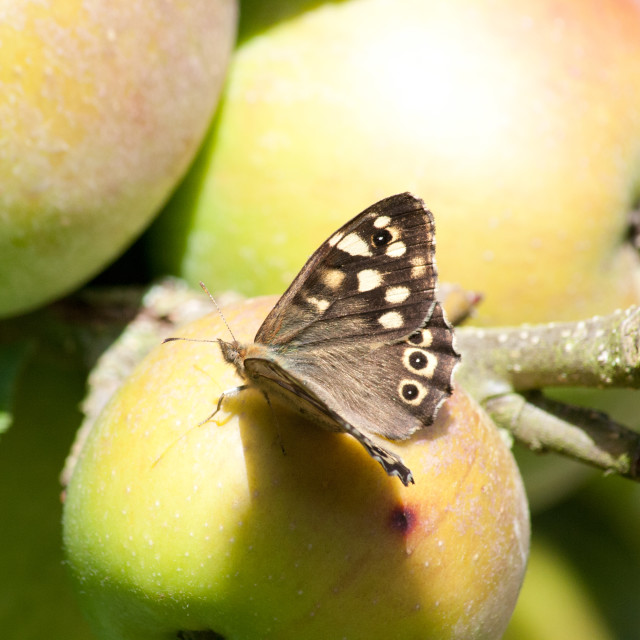 """Butterfly on apple"" stock image"