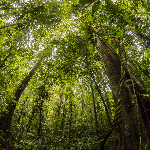 """Rainforest at Pico Bonito National Park, Honduras"" stock image"