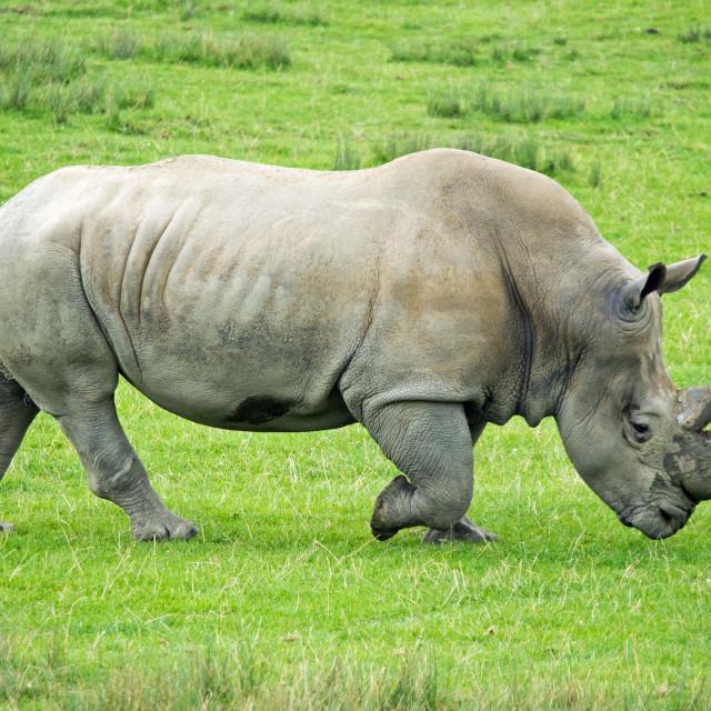 """Striding Rhino"" stock image"