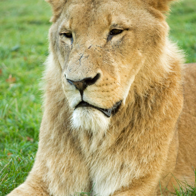 """Somber Lion"" stock image"
