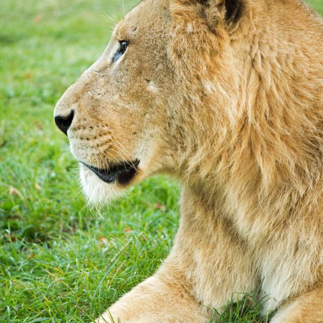 """Lion Profile"" stock image"