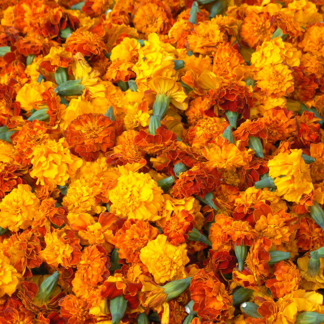 """Marigolds"" stock image"