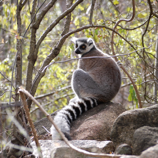"""Ring-tailed lemur, Madagascar."" stock image"