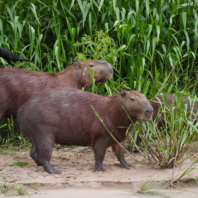 """Capybara in Peru"" stock image"