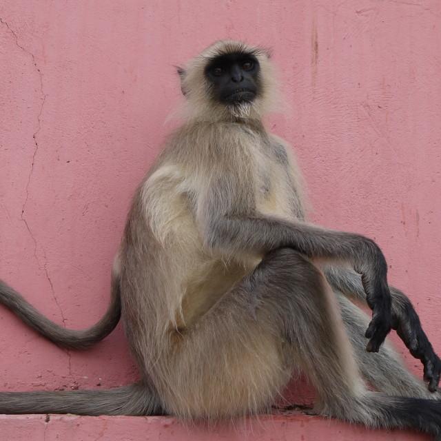 """Monkey at the Jaighar Fort, Jaipur"" stock image"