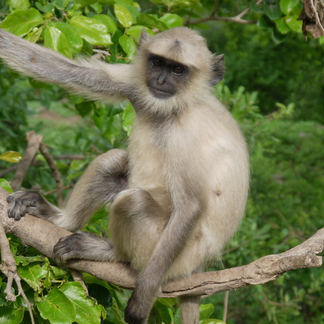 """Monkey business, Jaipur"" stock image"