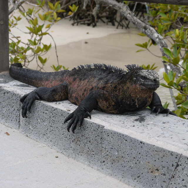 """Marine Iguana, the Galapagos Islands"" stock image"