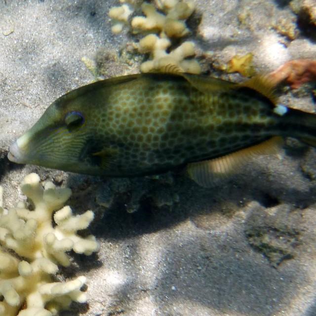 """Honeycomb filefish"" stock image"
