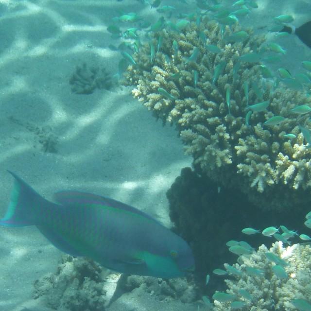 """""""Steepheaded Parrotfish"""" stock image"""