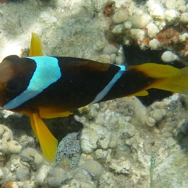 """""""Anaenomefish"""" stock image"""