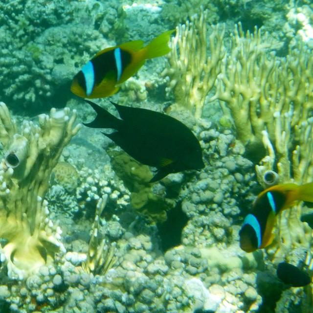 """""""Anemonefish II"""" stock image"""