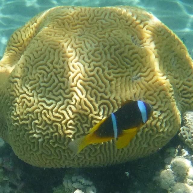 """""""Anemonefish III"""" stock image"""