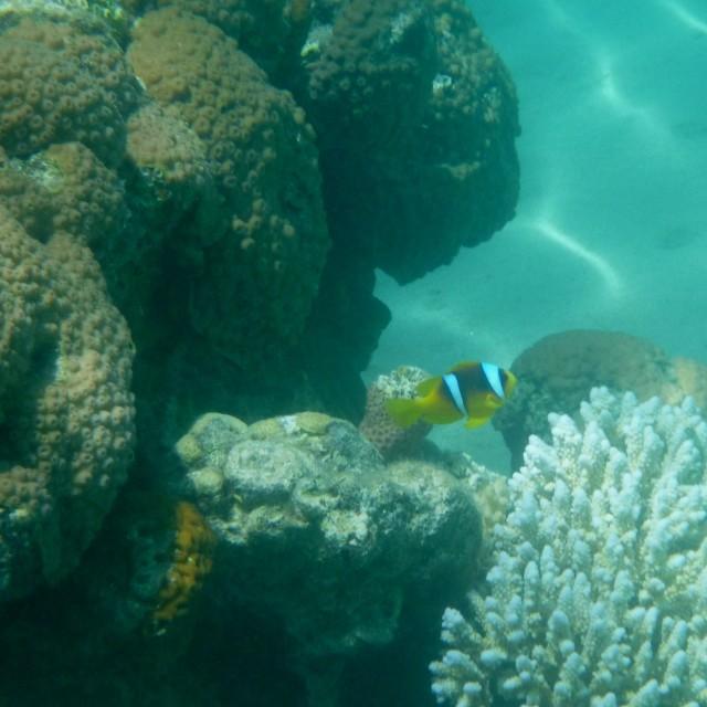 """""""Anemonefish IV"""" stock image"""