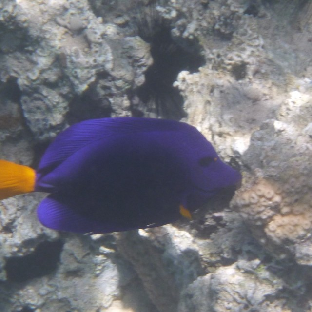 """Yellowfin tang"" stock image"