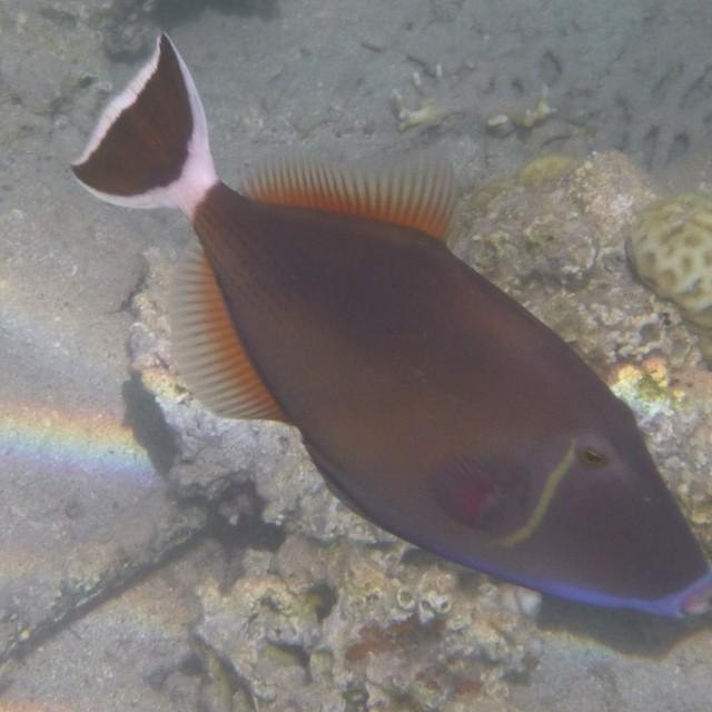 """Terminal Bluethroat Triggerfish"" stock image"