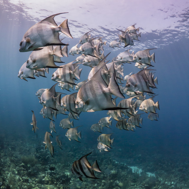 """School of Atlantic spadefish at Utila, Honduras"" stock image"