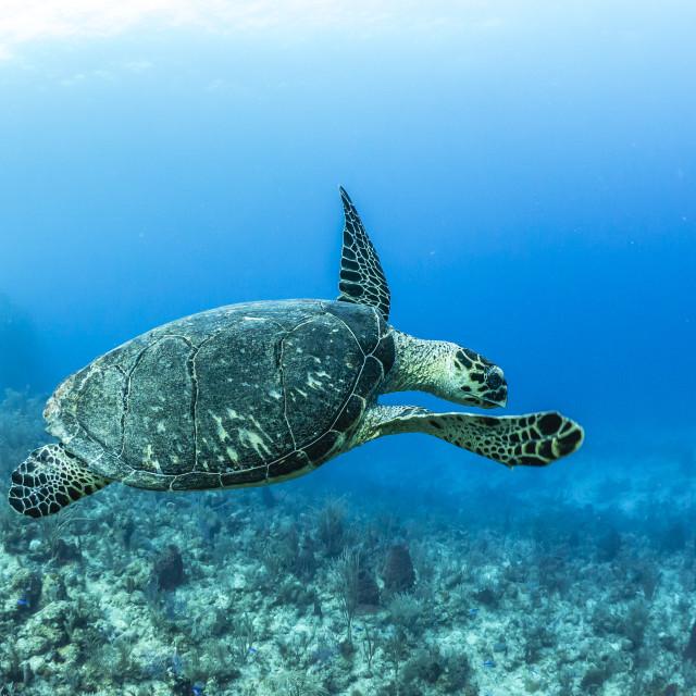 """Hawksbill sea turtle at Utila, Honduras"" stock image"
