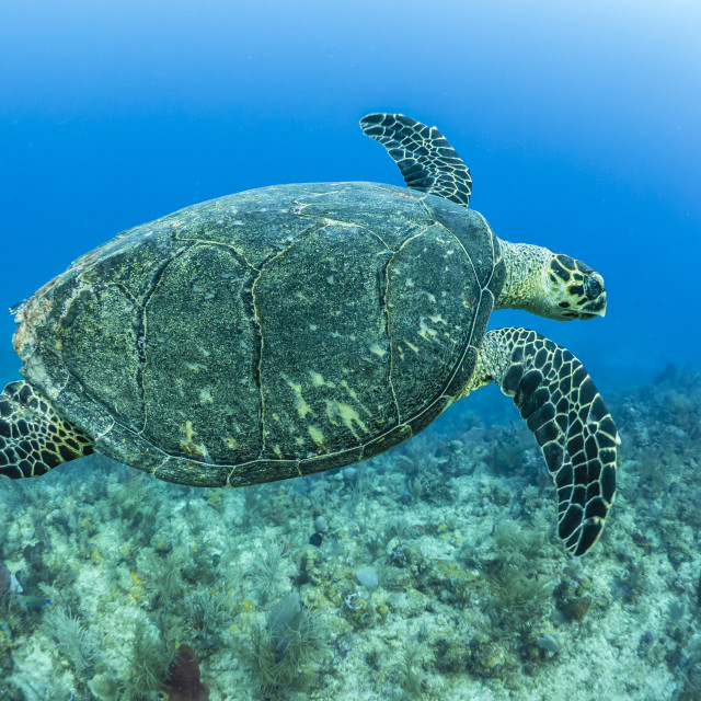 """Hawksbill sea turtle at Utila, Honduras"" stock image"