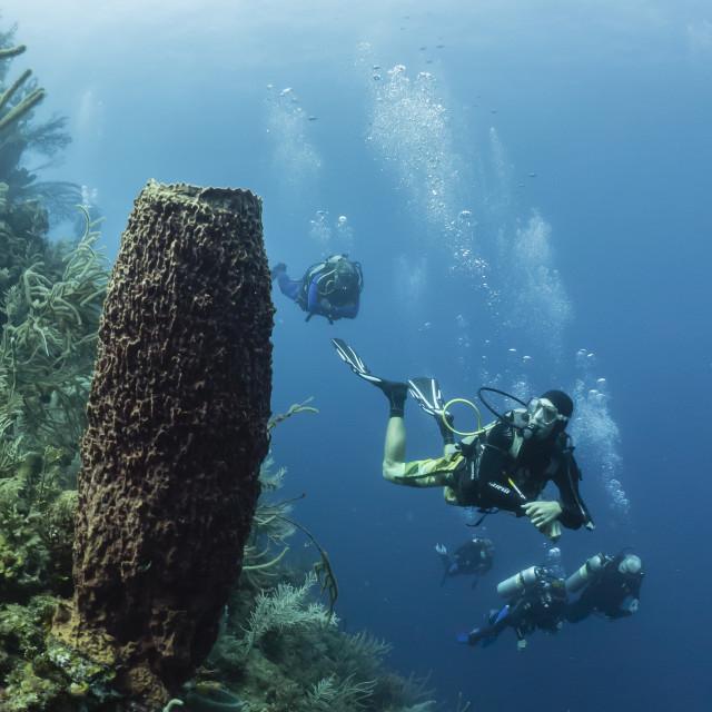 """Scuba divers inspect a gigantic barrel sponge off Utila, Honduras"" stock image"