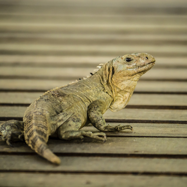 """Iguana relaxing on a deck on Utila, Honduras"" stock image"