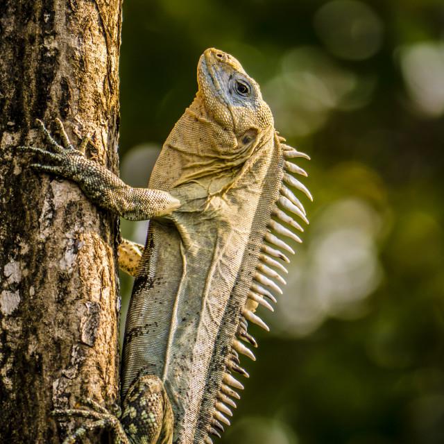 """Iguana on a tree on Utila, Honduras"" stock image"