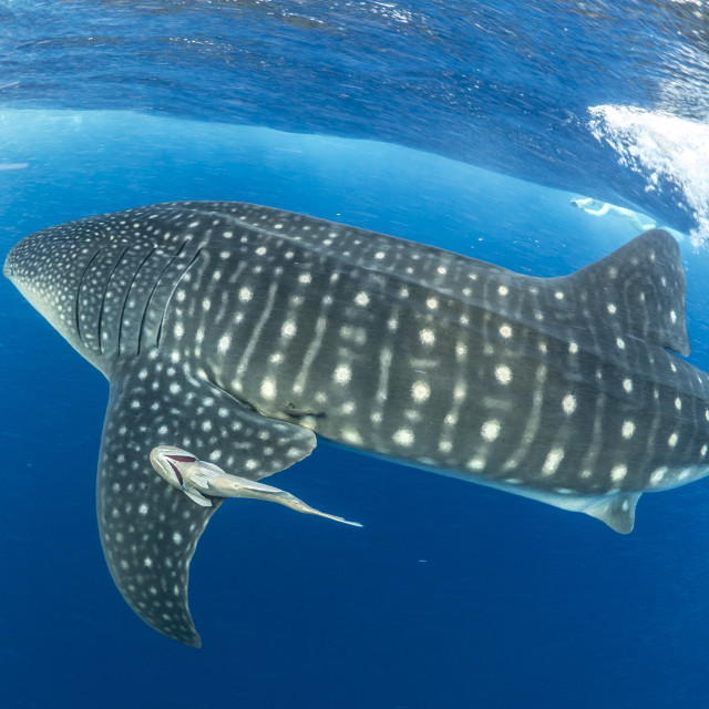 """Whale shark in the blue water off Utila, Honduras"" stock image"