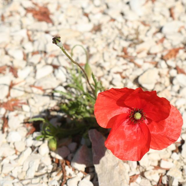"""""""Poppy in Provence"""" stock image"""