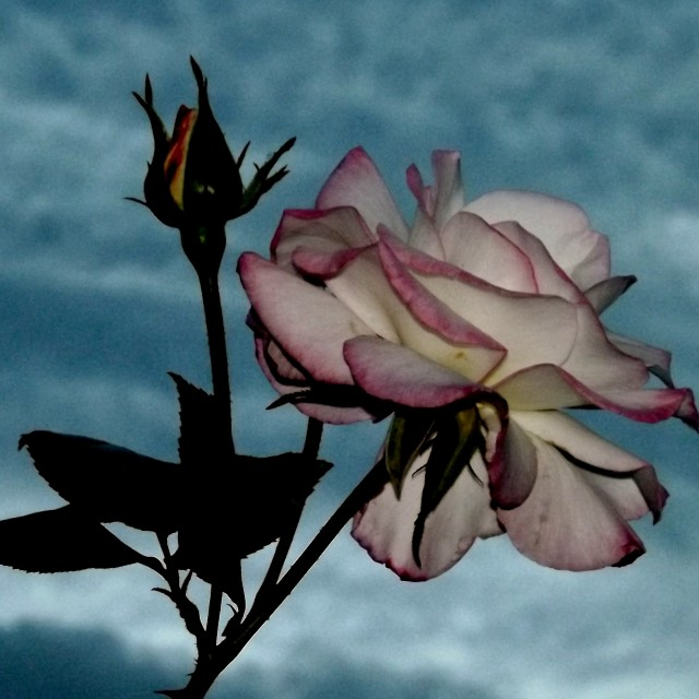 """Rose at Dusk"" stock image"
