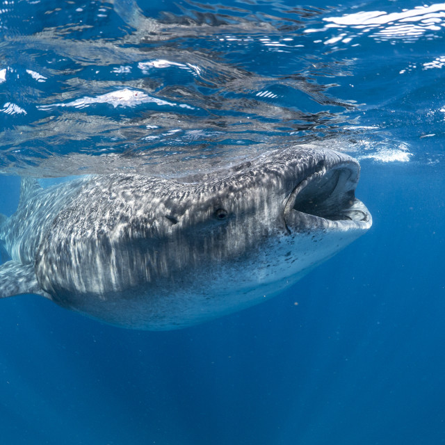 """Whale shark off the Yucatan Peninsula, Mexico"" stock image"