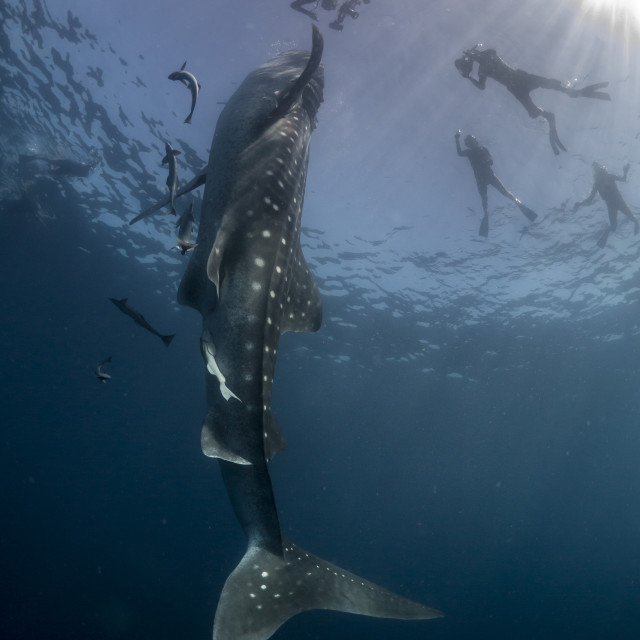 """Whale shark high-fiving a swimmer"" stock image"