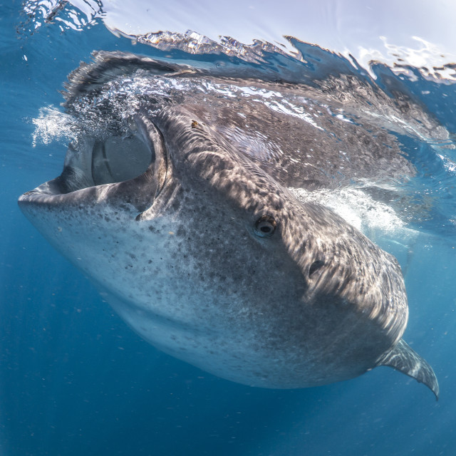 """Whale shark feeding in the sun off Mexico"" stock image"