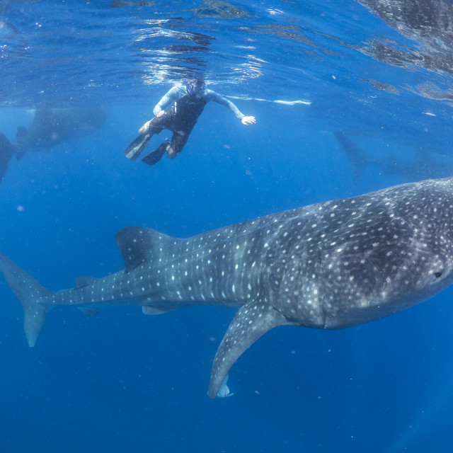 """Whale shark aggregation"" stock image"