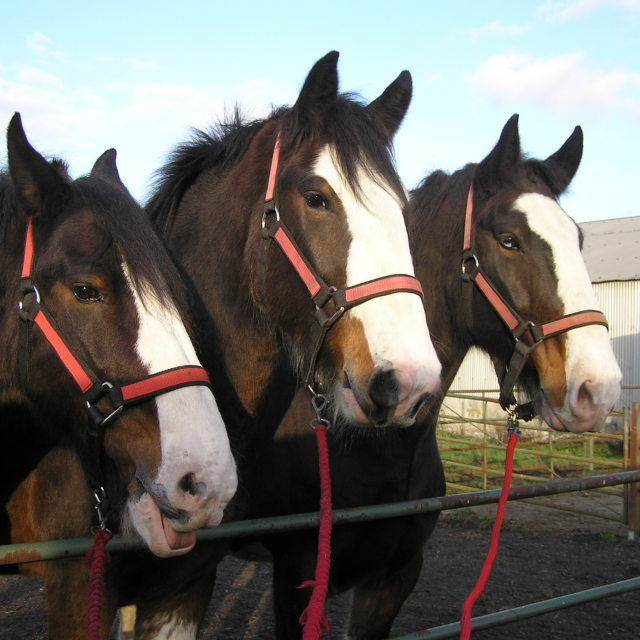 """shire horses"" stock image"